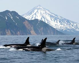 Vancouver-island-orques